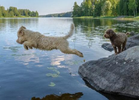 Lagotto Romagnolo - Top 10 Hypo-Allergenic Dogs